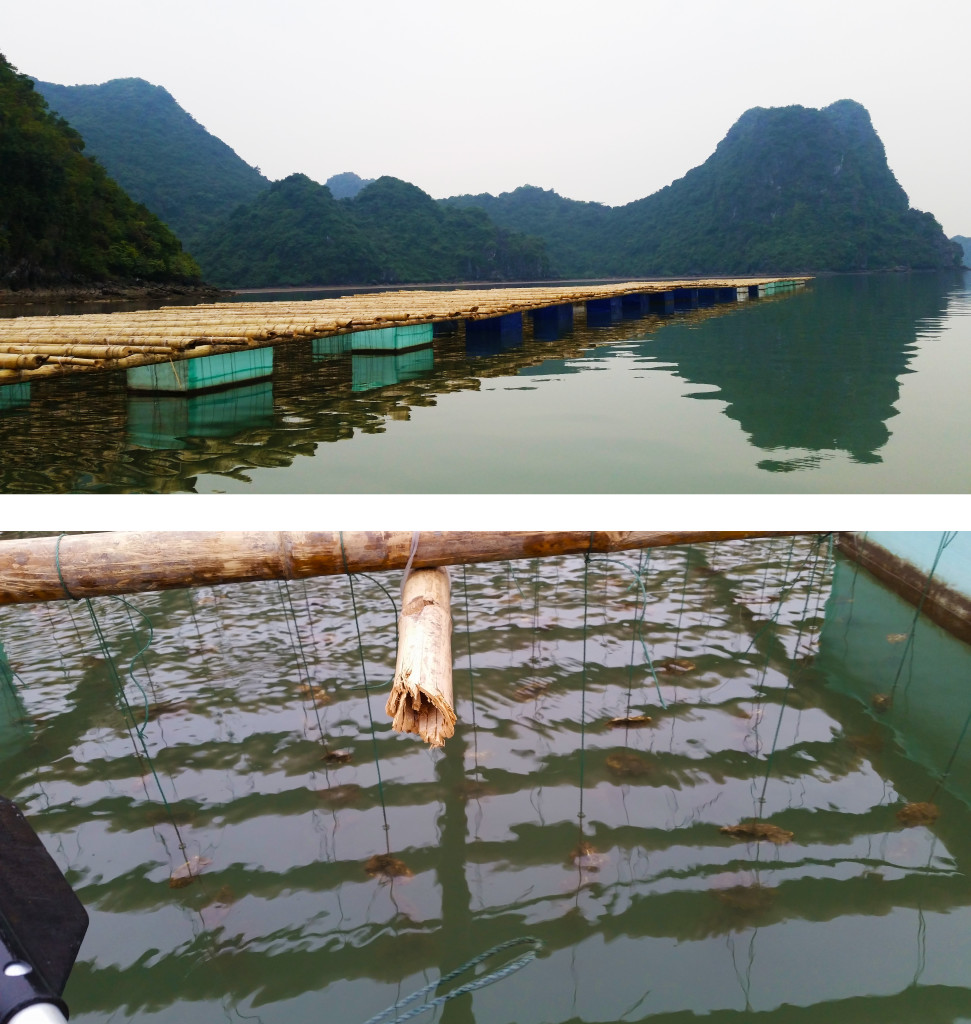 Ha Long Bay oyster farm