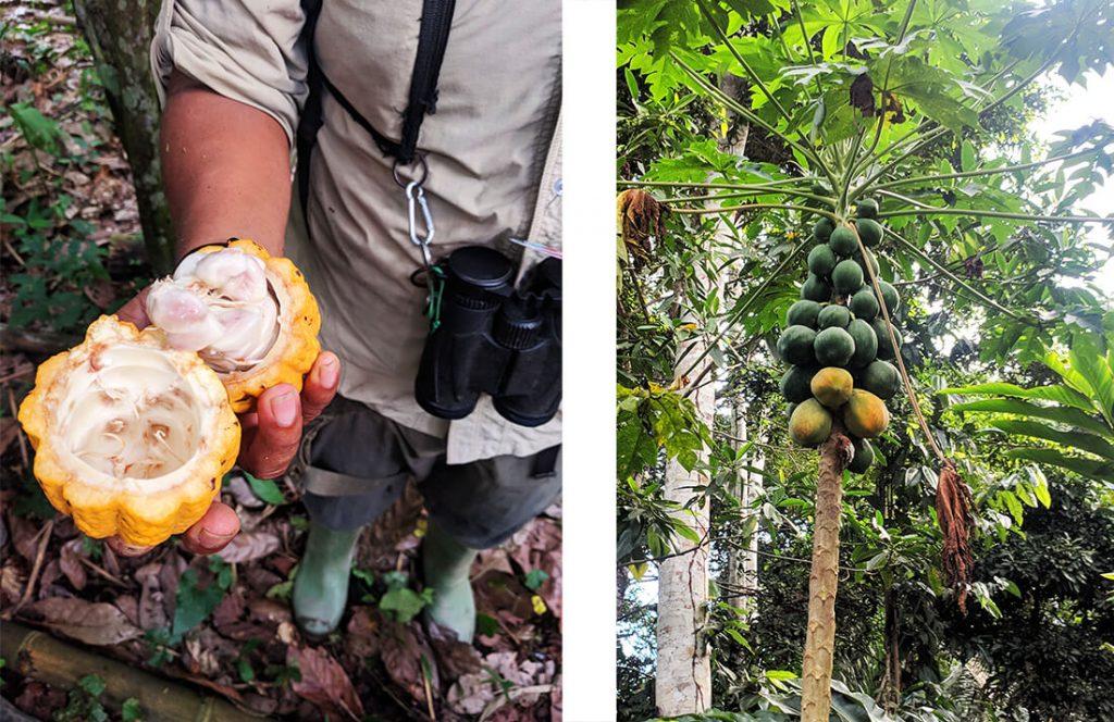amazon rainforest cacao