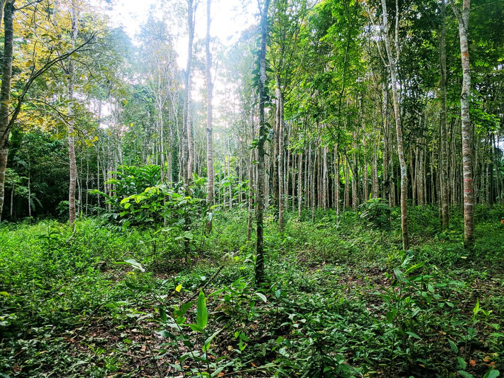 amazon rainforest peru mahogany