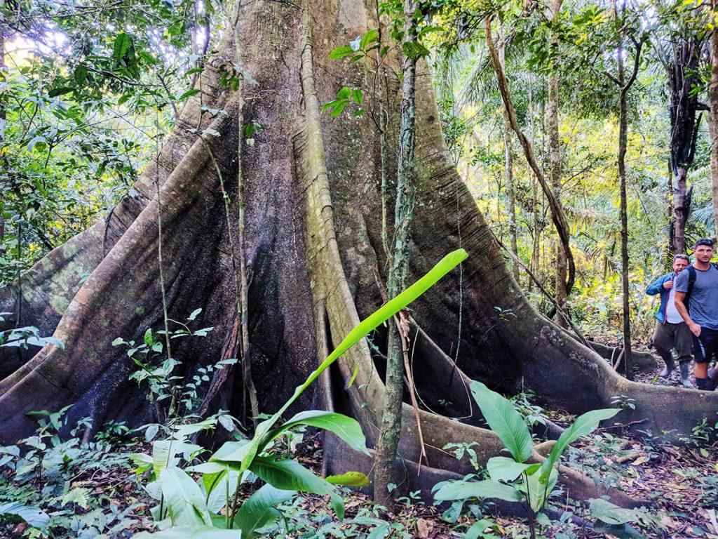 fig tree rainforest