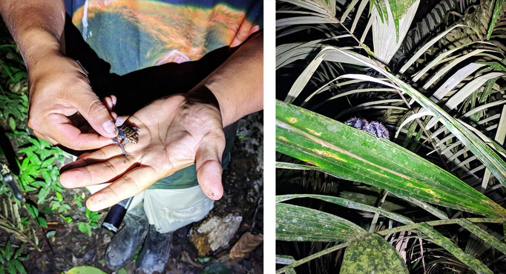 Amazon rainforest tarantulas