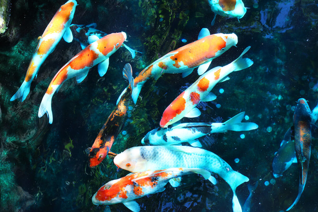 sensoji koi fish
